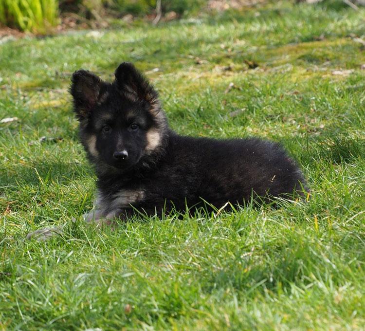 Черный длинношерстный щенок