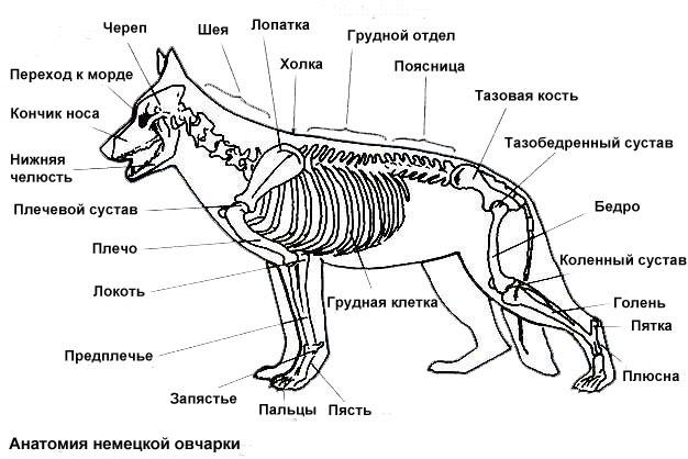 Строение скелета немецкой овчарки