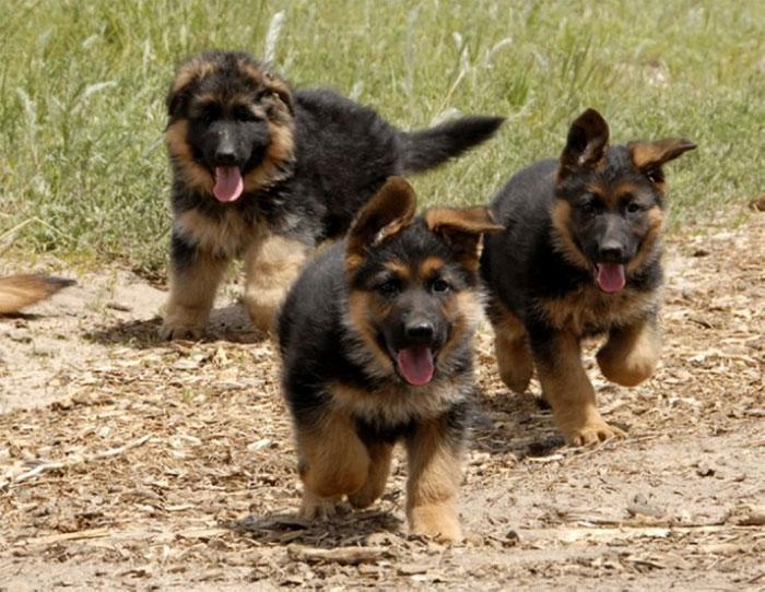 Подрастающие щенки