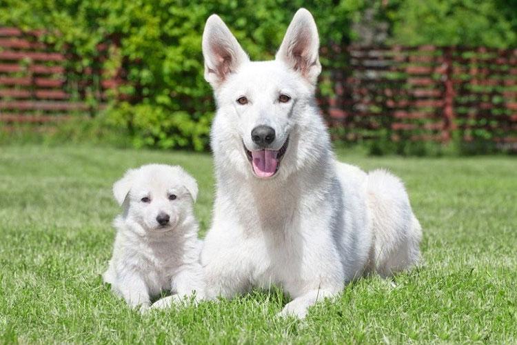 Белая овчарка со щенком