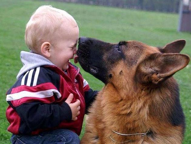 Овчарка может ухаживать за ребенком, как за своим собственным