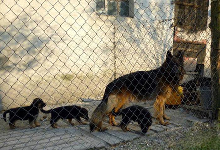 Немецкая овчарка с щенками в вольере