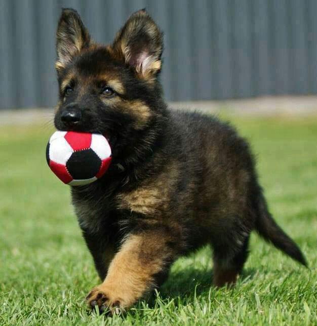 Здоровый щенок ведет себя энергично