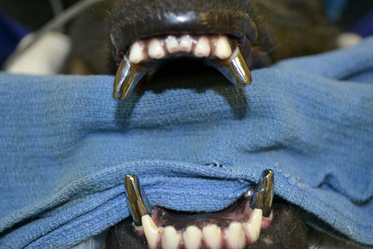 Челюсть с молочными зубами