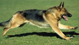 Когда прививать щенка немецкой овчарки