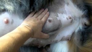 Перед родами у овчарки набухают соски
