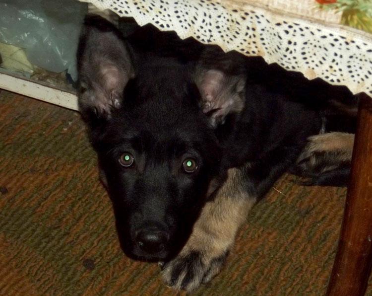 Если щенка не застали во время преступление, то его нельзя наказывать, даже если он чувствует вину