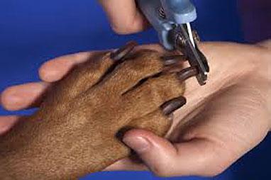 Если резать коготь слишком близко, можно поранить собаку