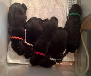 Приготовьте цветные нитки, чтобы отмечать щенков