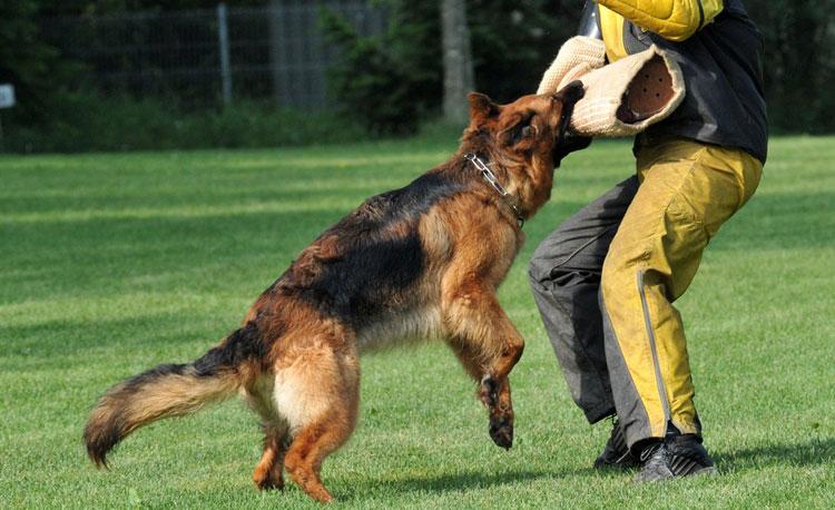 Не стоит воспитывать в собаке агрессивность без прямой необходимости