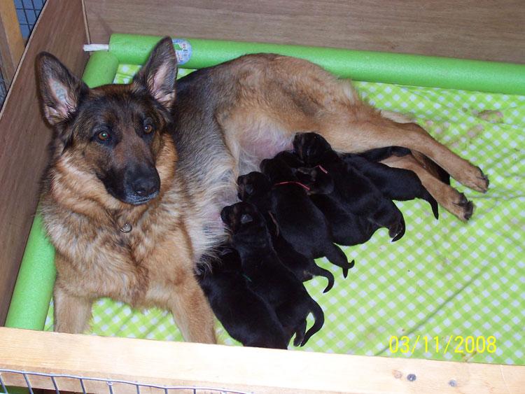 Собака не может полноценно выкормить большое количество щенков