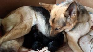 Мать обрабатывает каждого щенка