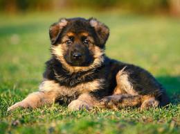 Как выбирать щенков немецкой овчарки