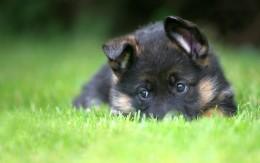 Уход и кормление щенка немецкой овчарки по месяцам