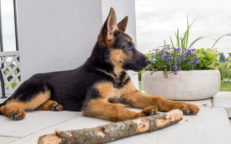 Из-за своего активного характера щенки немецкой овчарки склонны к шалостям