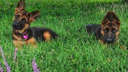 Воспитание щенков немецкой овчарки