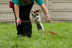 До шести месяцев джек-рассел-терьер должен обучиться базовым камандам