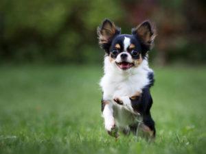 Чихуахуа очень жизнерадостные собачки