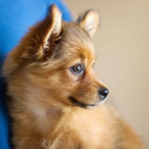 Померанский шпиц лисьего вида - очень преданная собака