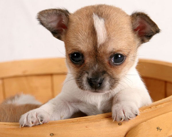 Супер микро щенки имеют слабый иммунитет