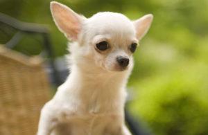Поедая экскременты, собака может нанести вред своему здоровью