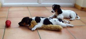 Не занимайтесь с щенком больше тридцати минут