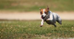 Воспитание щенка джек-рассел-терьера и уход за ним