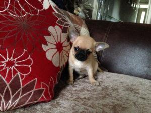 Чихуахуа является самой маленькой собачкой