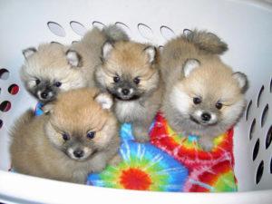 Приучайте щенков померанского шпица к туалету с первых дней