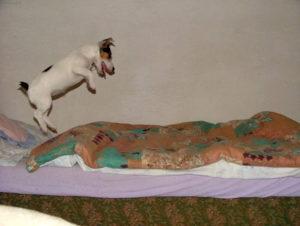 Из-за небольших размеров собака отлично прыгает