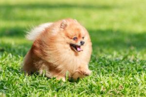 Видео как ухаживать за щенком шпица