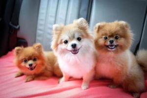 Общение с другими собаками поможет померанскому шпицу адаптироваться к внешнему миру