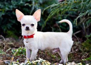 Чихуахуа очень элегантная собачка
