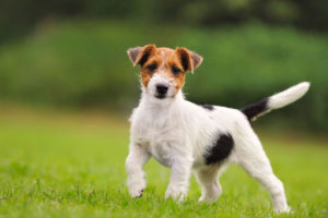 Хвост собаки может быть купирован