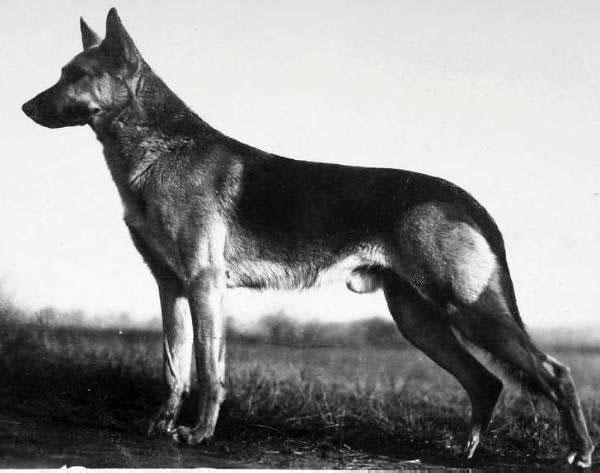 Первые виды немецких овчарок