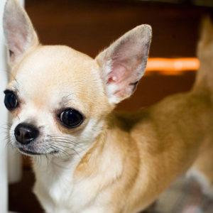 Чихуахуа - очень чистоплотная собака