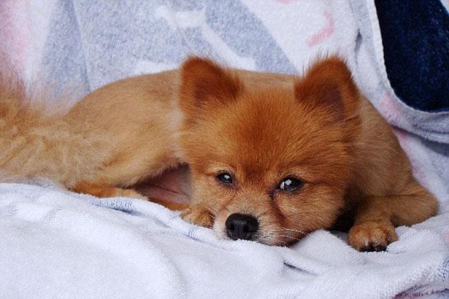 померанский шпиц фото лисичка