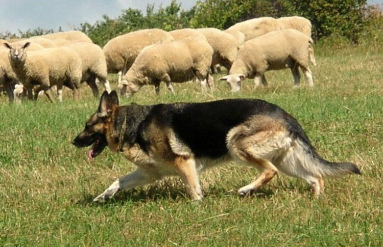 немецкой овчарки по месяцам