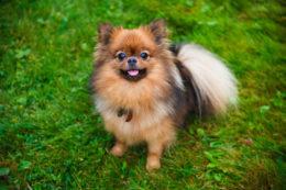 Как выбрать щенка померанского шпица