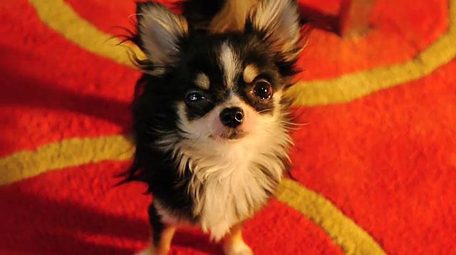 Опасно делать прививки больным собакам