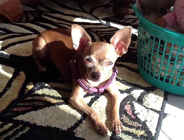 Если собака постоянно дрожит, покажите ее ветеринару