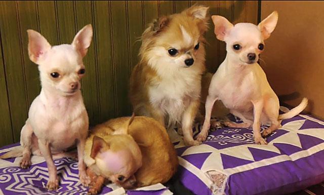 Непривитая чихуахуа может заразиться при контакте с другими собаками