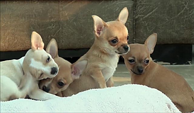 Если щенок чешется, его нужно внимательно осмотреть