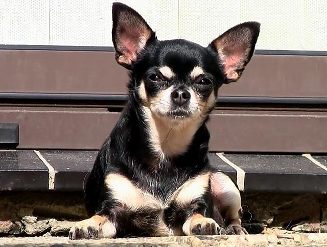 При правильном кормлении шерсть у собаки начинает блистеть