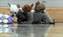 Как правильно выбирать щенка чихуахуа