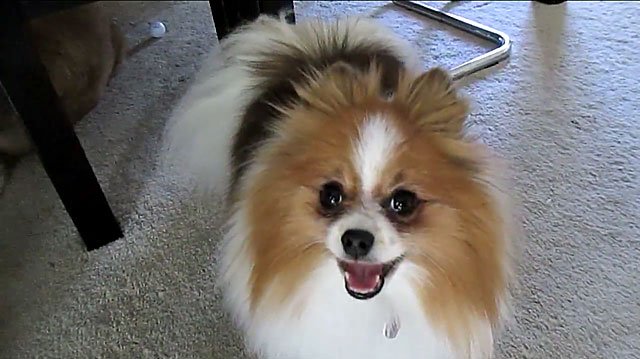 Перед вязкой покажите собаку ветеринару