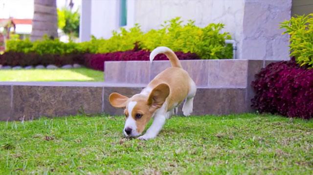 Двухцветный щенок