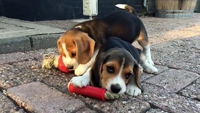Собаки этой породы очень активны