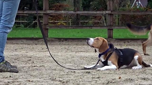 Дрессировка охотничьих собак имеет свою специфику