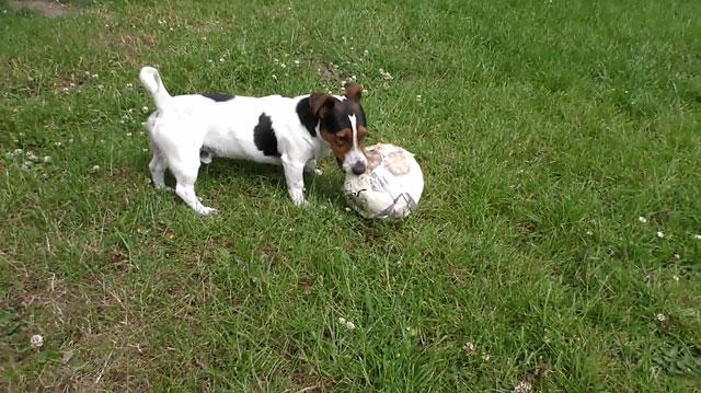 Собаки этой породы обожают активные игры